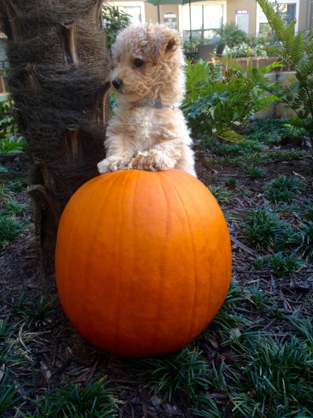Poochon puppy with pumpkin