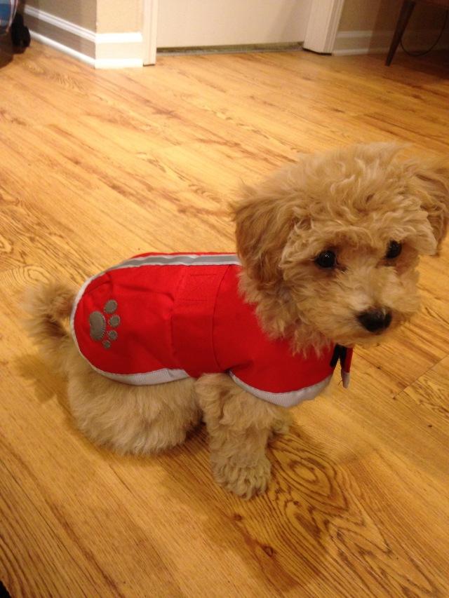 Bichpoo raincoat